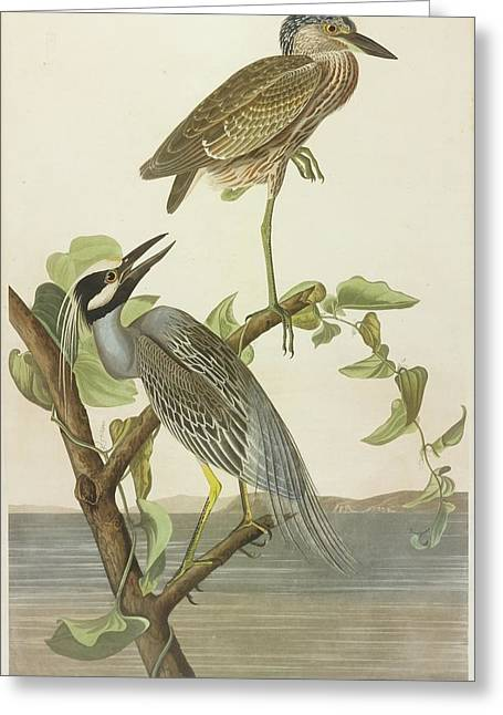 Crowned Heron Greeting Card by John James