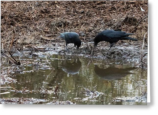 Crows Hunting In The Mud Greeting Card