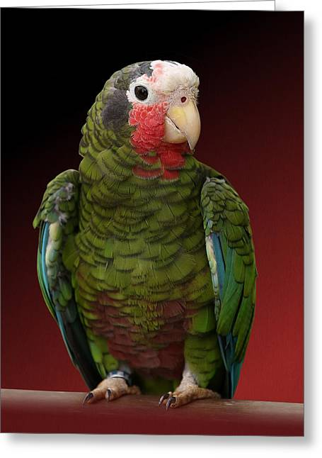 Cuban Amazon Parrot Greeting Card