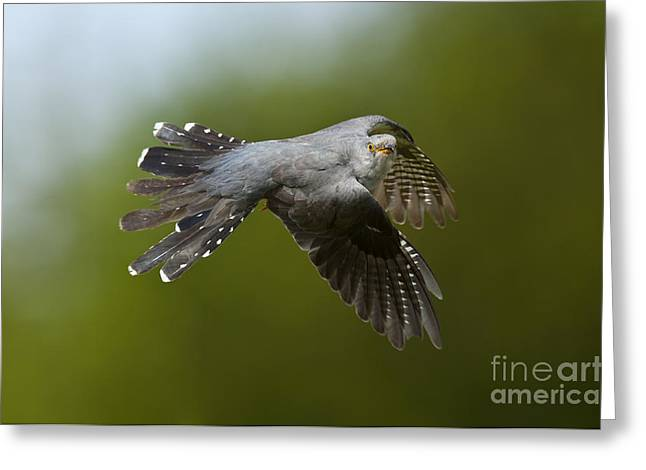 Cuckoo Flying Greeting Card by Steen Drozd Lund