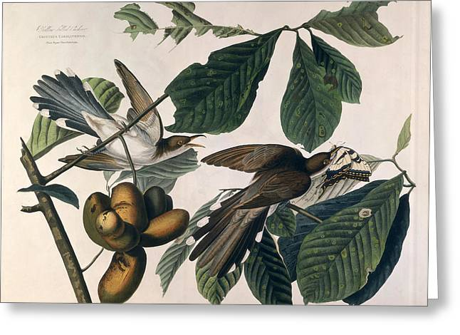 Yellows Drawings Greeting Cards - Cuckoo Greeting Card by John James Audubon