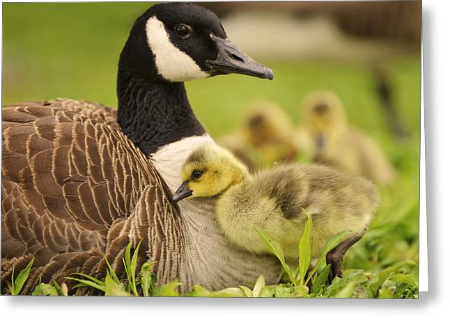 Mother Goose Greeting Cards - Cuddles Greeting Card by Vicki Jauron