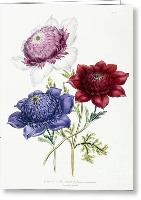 Cultivated Double Varieties Of Anemone Coronarial Greeting Card