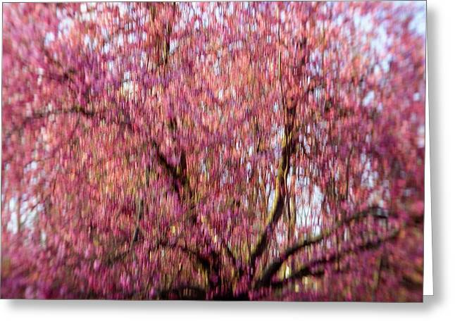 Greeting Card featuring the photograph Columnar Sargent Cherry 2 by Bernhart Hochleitner
