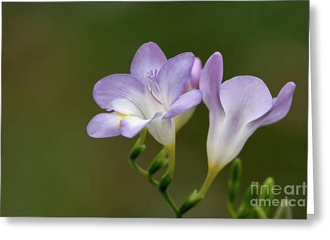 Cupertino Lavender Freesias Greeting Card