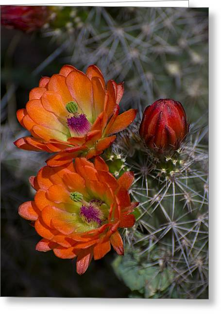 Cupric Cup Cactus Flowers Greeting Card