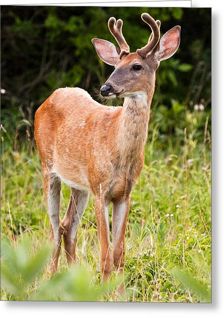 Curious Buck Greeting Card by James Marvin Phelps