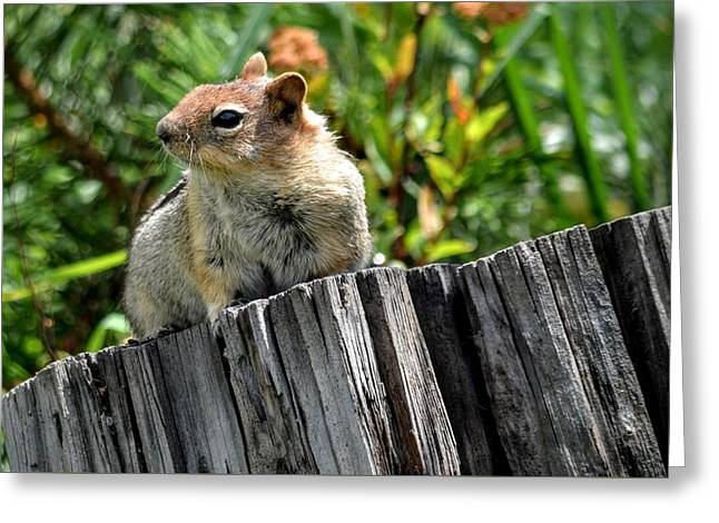Curious Chipmunk Greeting Card