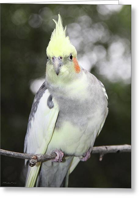 Curious Cockatiel Greeting Card