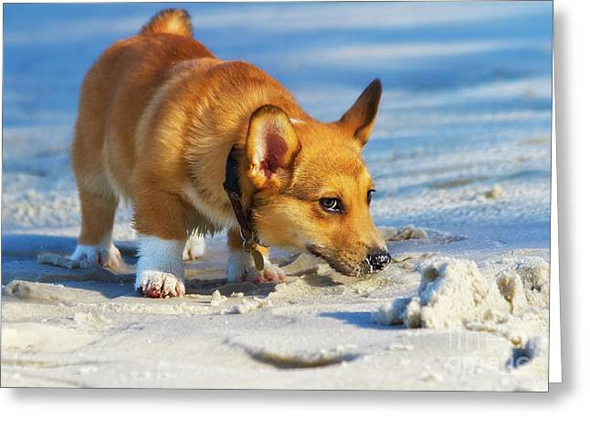 Curious Corgi Greeting Card by Stephanie Hayes