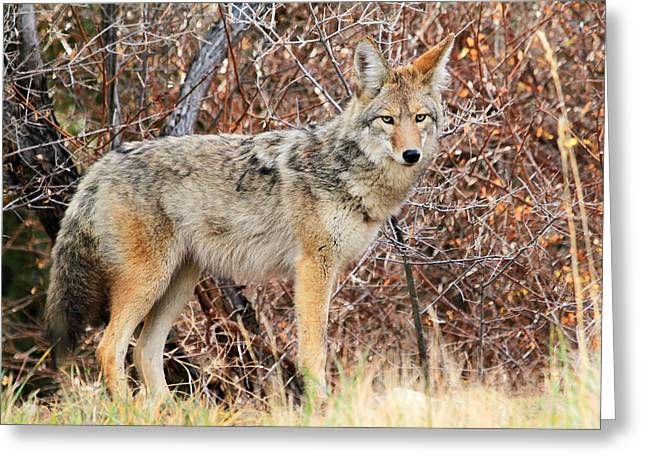 Curious Coyote Greeting Card