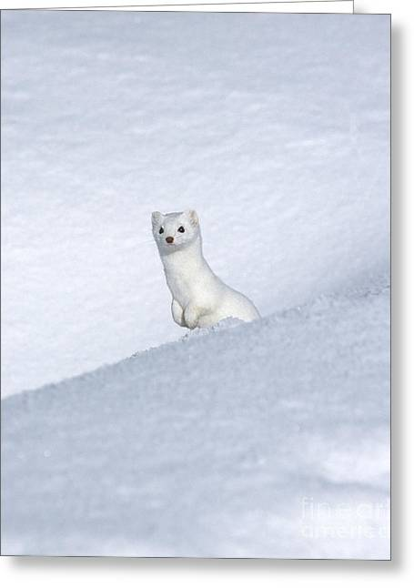 North American Wildlife Photographs Greeting Cards - Curious Ermin Greeting Card by Sandra Bronstein