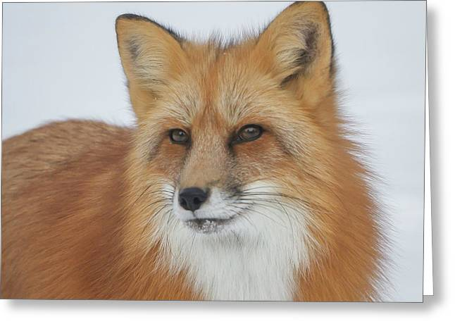 Curious Fox Greeting Card by Jack Bell