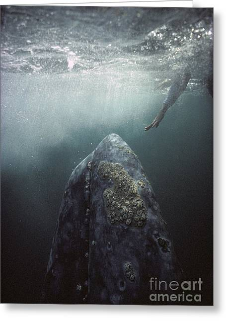 Curious Gray Whale And Tourist Greeting Card