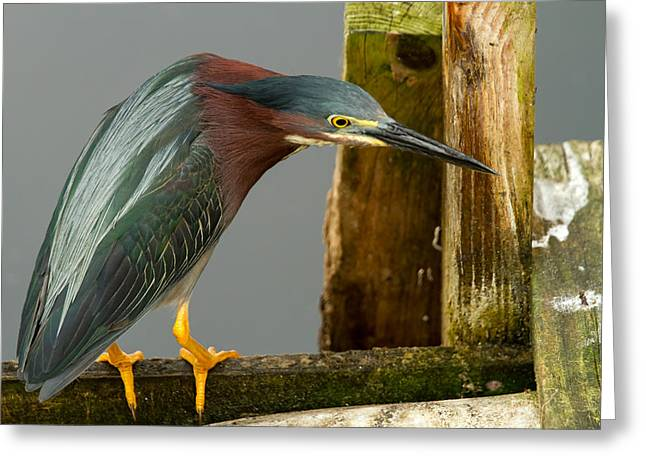 Curious Green Heron Greeting Card