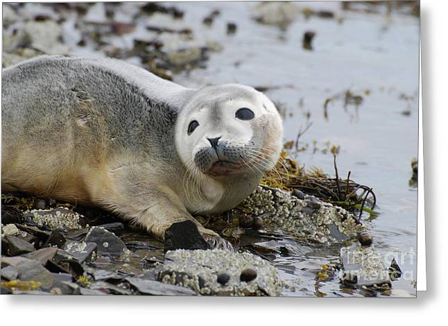 Curious Harbor Seal Pup Greeting Card