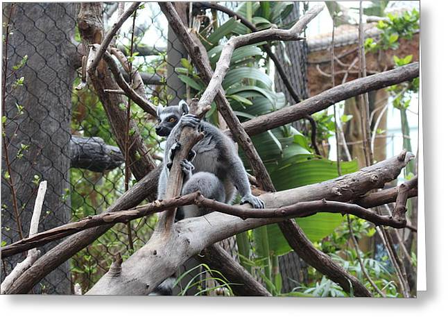 Curious Lemur  Greeting Card