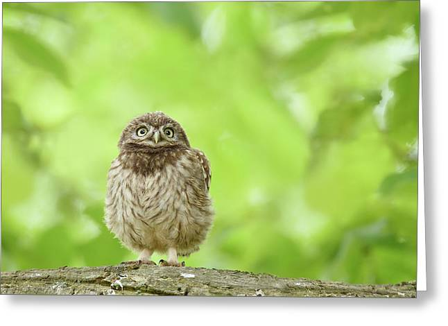 Curious Little Owl Chick Greeting Card