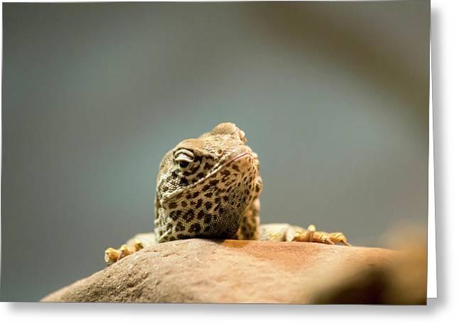 Curious Lizard Greeting Card