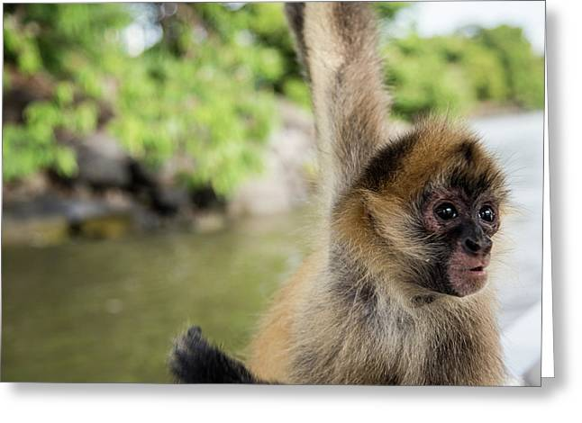 Curious Monkey Greeting Card by Michael Santos