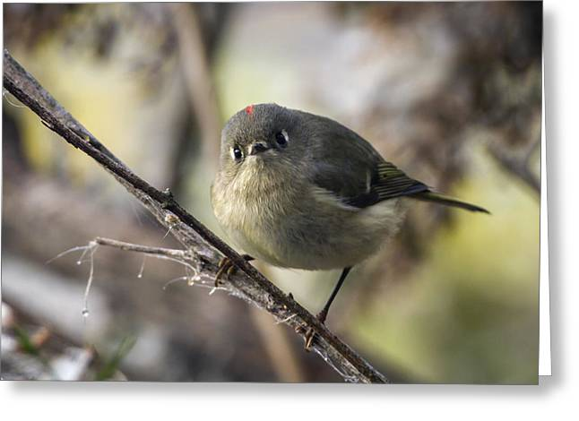 Curious Ruby-crowned Kinglet Greeting Card