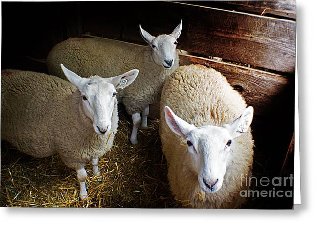 Curious Sheep Greeting Card by Kevin Fortier