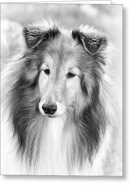 Curious Sheltie Greeting Card