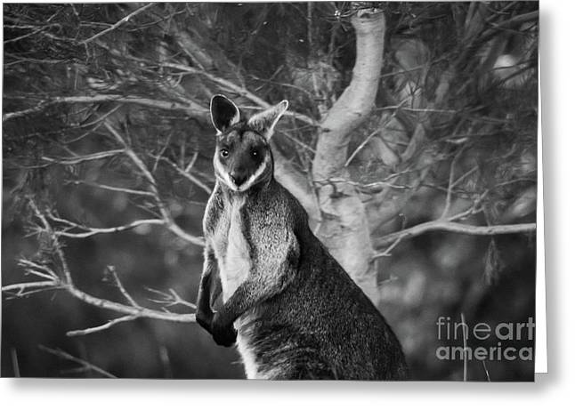 Curious Wallaby 2 Greeting Card