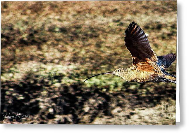 Curlew In Flight Greeting Card