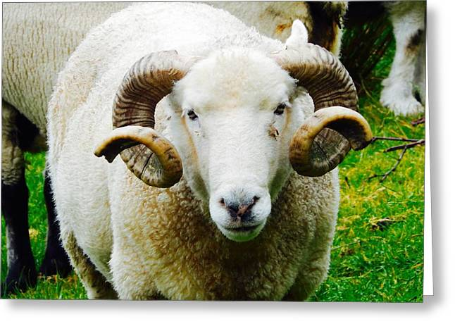 Curly Horned Sheep Greeting Card by Sue Morris