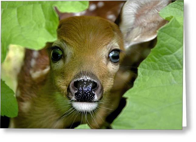 Curous Fawn Greeting Card by Adam Olsen