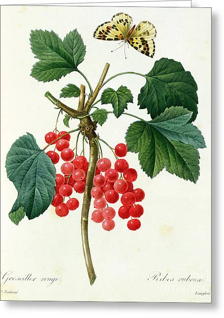 Currants  Red Greeting Card by Pierre Joseph Redoute