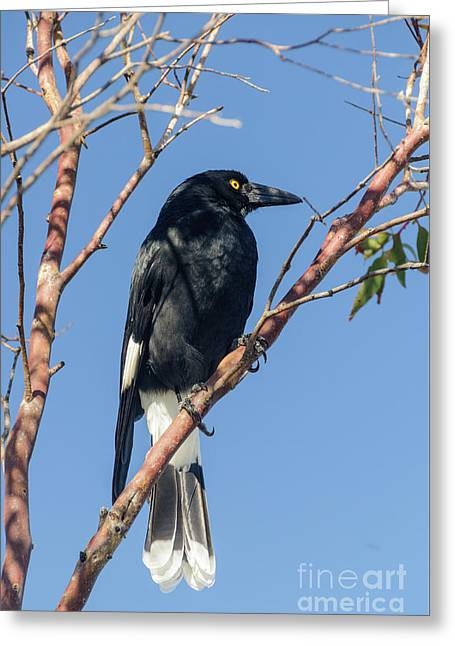 Currawong Greeting Card