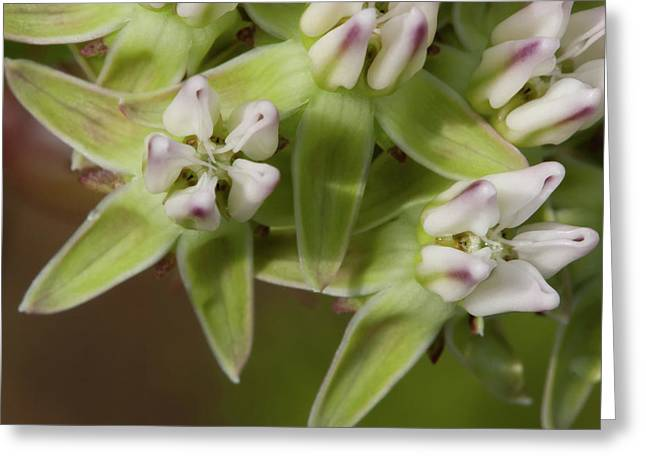 Curtiss' Milkweed #4 Greeting Card