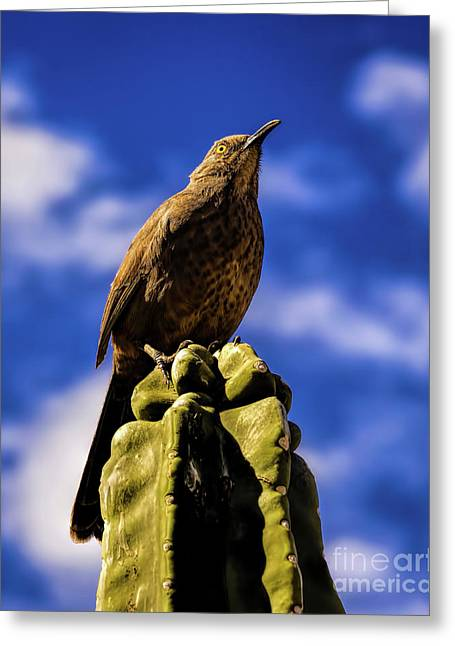 Curved Billed Thrasher Greeting Card