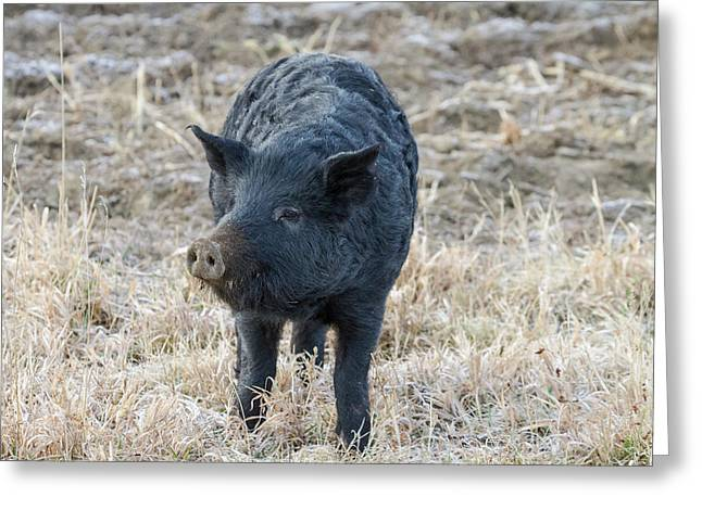Greeting Card featuring the photograph Cute Black Pig by James BO Insogna