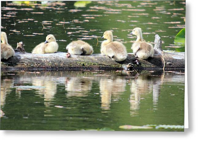 Cute Canadian Geese Chicks Greeting Card by Pierre Leclerc Photography