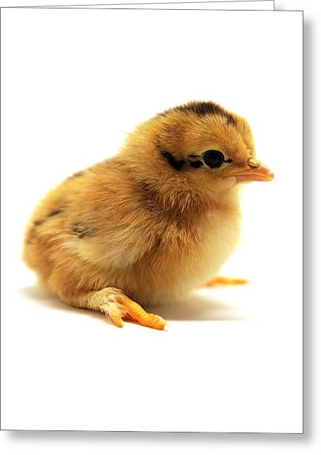 Cute Chick Greeting Card by Laura Mountainspring