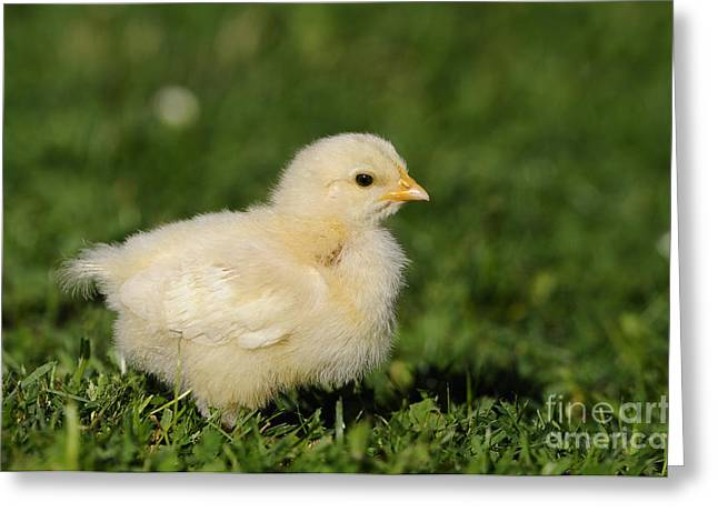 Cute Chicken Chick Greeting Card