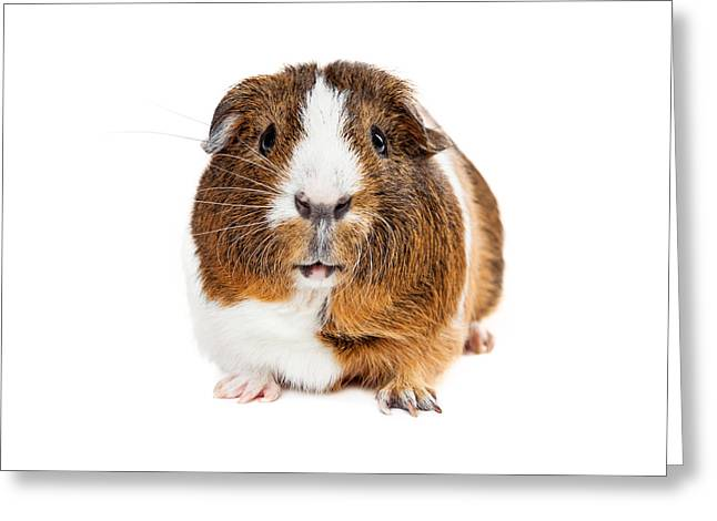 Cute Guinea Pig Looking Forward Greeting Card