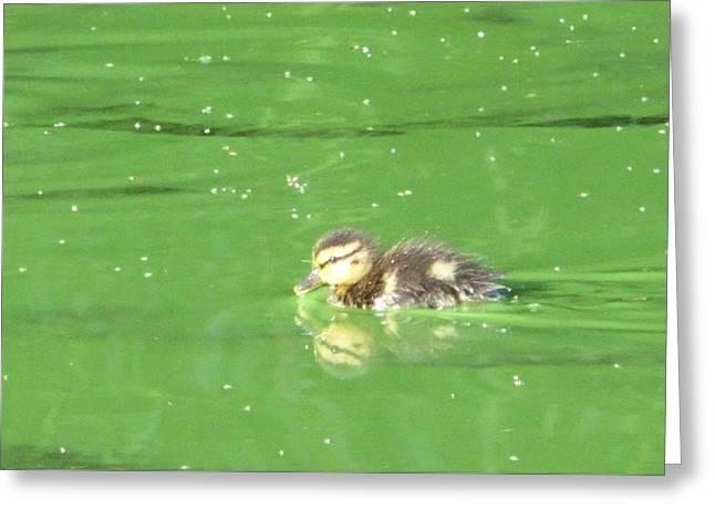 Cute Little Duckling In Green Algae Lake Water Greeting Card