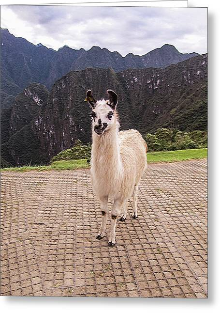 Cute Llama Posing For Picture Greeting Card