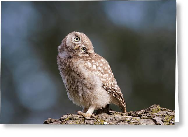 Cute, Moi? - Baby Little Owl Greeting Card