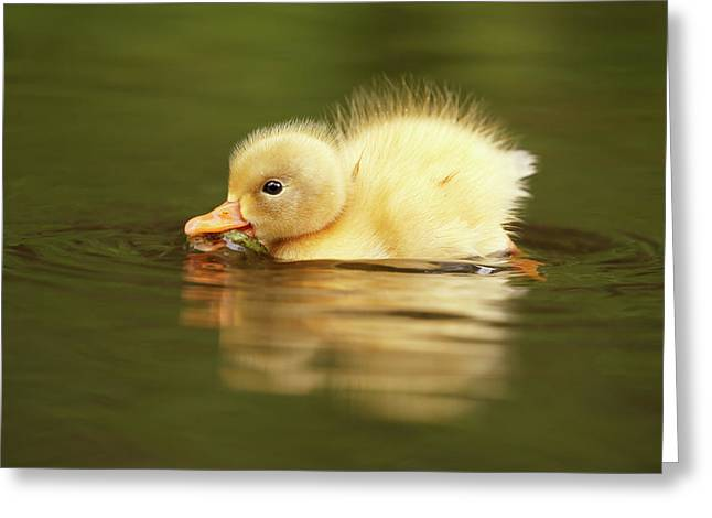 Cute Overload Series - The Very Hungry Duckling Greeting Card