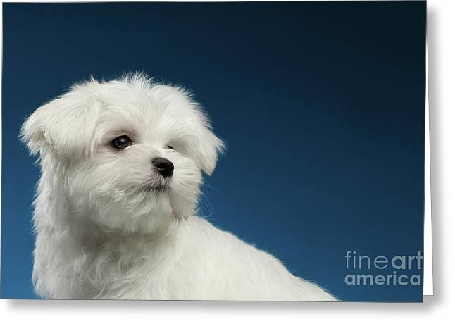 Cute Pure White Maltese Puppy Curiously Looking Isolated On Blue Background Greeting Card by Sergey Taran
