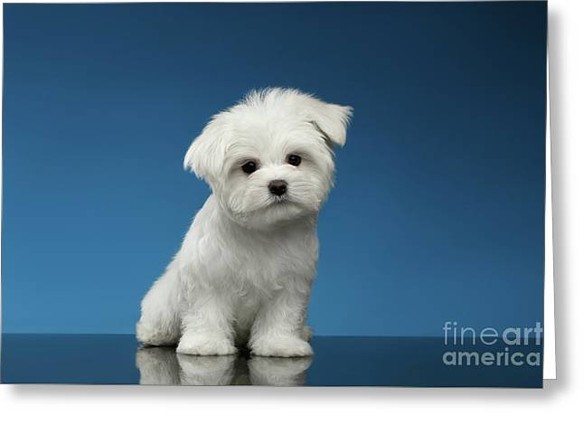 Cute Pure White Maltese Puppy Standing And Curiously Looking In Camera Isolated On Blue Background Greeting Card by Sergey Taran