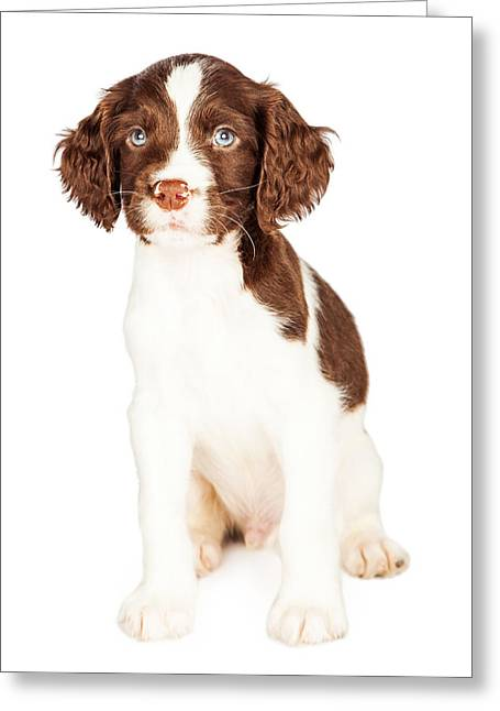 Cute Springer Spaniel Puppy Over White Greeting Card