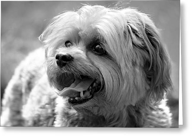 Doggies Photographs Greeting Cards - Cute Yorkie - Yorkshire Terrier Dog Greeting Card by Tracie Kaska