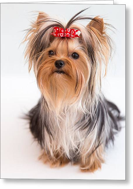 Cute Yorkie Puppy With Red Bow Greeting Card