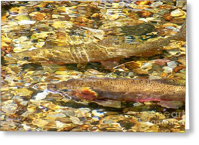 Cutthroat Trout In Clear Mountain Stream Greeting Card by Greg Hammond